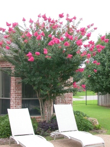 crape myrtle in spring at our first texas house