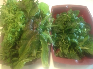 today's leafy harvest: bok choi (right), lots of lettuce (left)