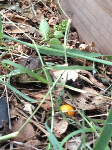 My toad pal. He hangs out near one of the raised beds.
