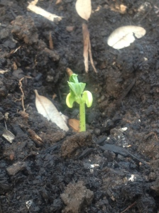 bush bean seedling