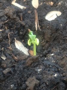 bush bean seedling