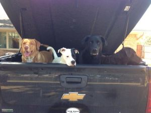 The Gs were hoping to go for a ride, but instead they figured out that a bag of dog food had spilled in the bed of Bruce's truck. Photo by Bruce