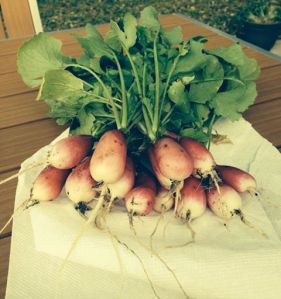 French Breakfast radishes! Yield is now up to 66 with more still on the way