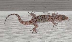 gecko1s